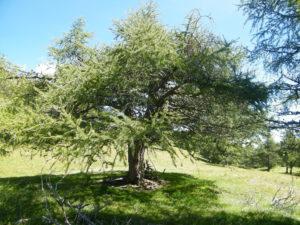 Baum der Versuchung am Stiergarten